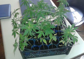 Gradiška: Pronađeno 20 stabljika marihuane, uhapšen muškarac