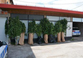 Otkrivene tri plantaže marihuane u Obudovcu kod Brčkog