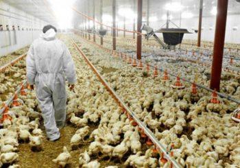 Inspektori EU za hranu u BiH utvrđuju kvalitet mesa peradi