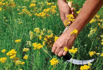 KRIZA Zbog uzgoja smilja Hercegovci nekad ravnali brda, danas kubure sa otkupom