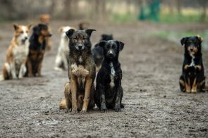 I TO SE DEŠAVA Tri osobe osumnjičene za krađu 67 pasa iz azila kod Prijedora