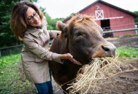 KRAVLJA TERAPIJA Maženje krave za opuštanje naplaćuju 75 dolara