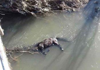 ZVJERSKI MUČILI I UBILI ŽIVOTINJU: Konju zavezali noge i bacili ga u rijeku Bosnu