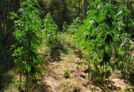 TREBINJE: Pronađena plantaža marihuane, uhapšeni stric i bratić