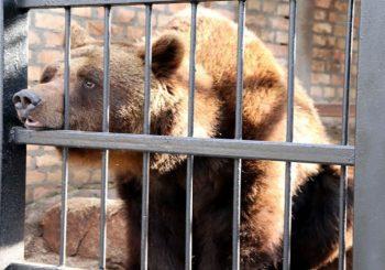 NE ODLAŽITE KAPUTE, ZIMA TRAJE: Medvjedi u ZOO vrtu u Jagodini vidjeli svoju sjenku